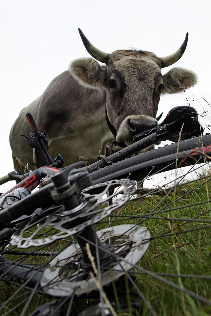 Krowa zainteresowana rowerem
