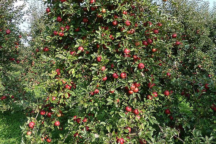 Jabłoń uginająca się podciężarem owoców
